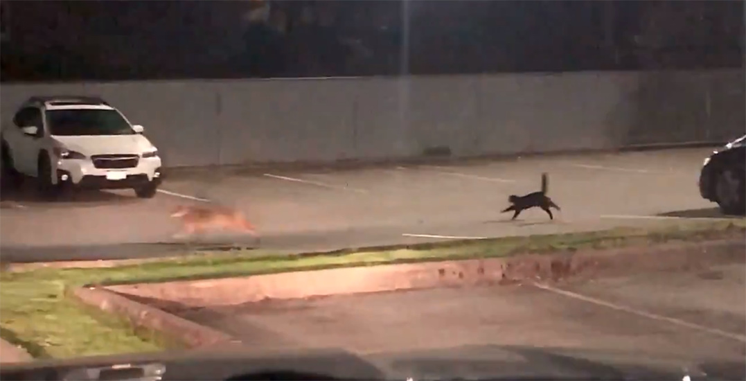 Claw enforcement: Cat captured chasing away coyote (VIDEO)