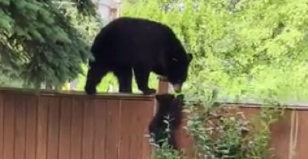 Watch this momma bear and her cubs check out a Coquitlam backyard (VIDEO)