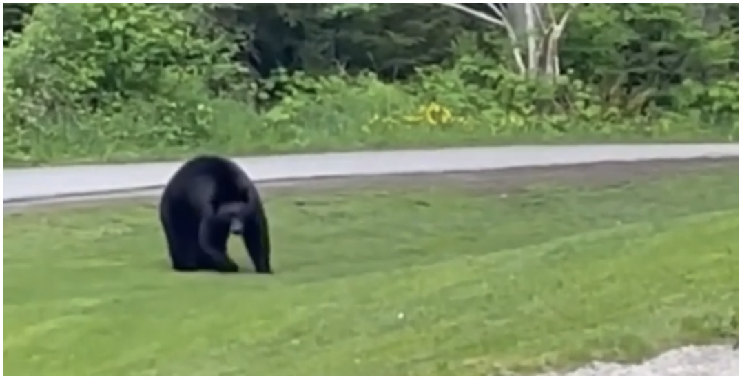 Coquitlam black bear casually interrupts game of golf (VIDEO)