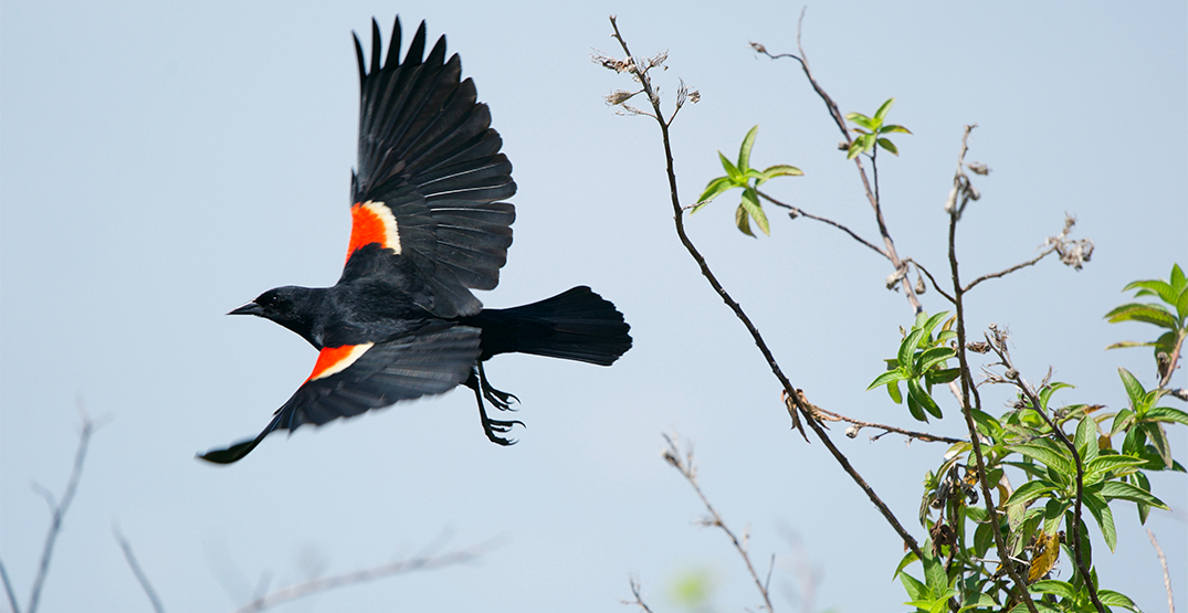 Dive bomb season has officially begun for Toronto's red-winged blackbirds