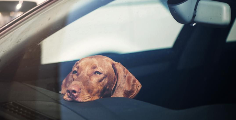 Here's what to do if you find a dog left in a hot car this summer