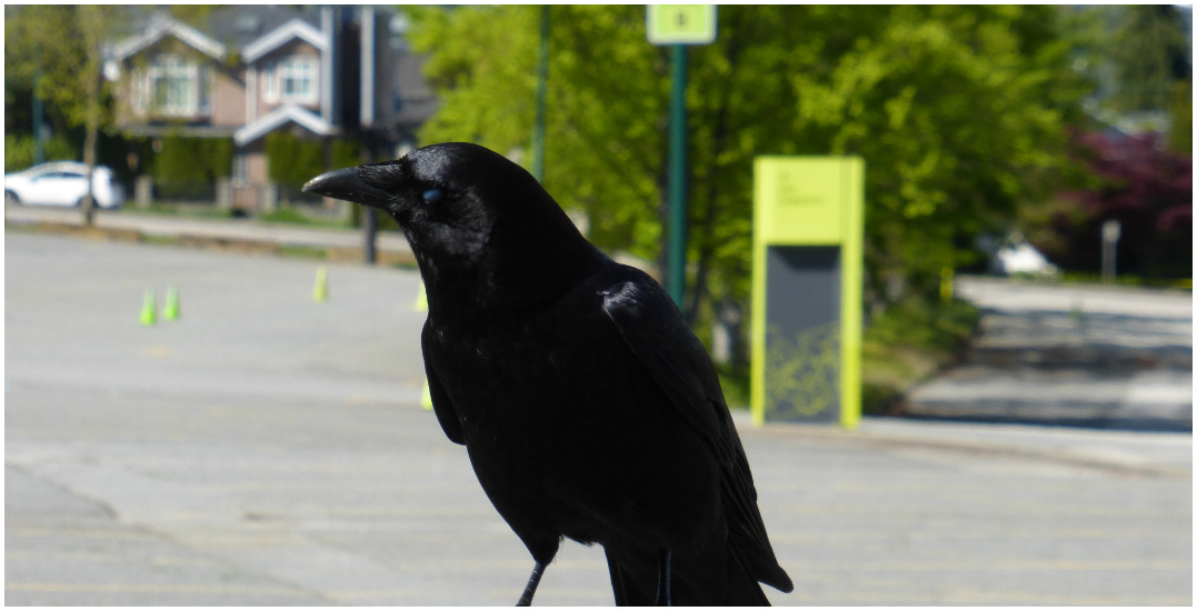"""""""Kicked me in the head"""": Map documents savage crow attacks in Vancouver"""