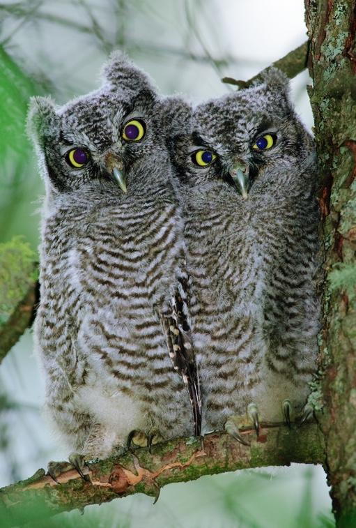Western screech-owl chicks