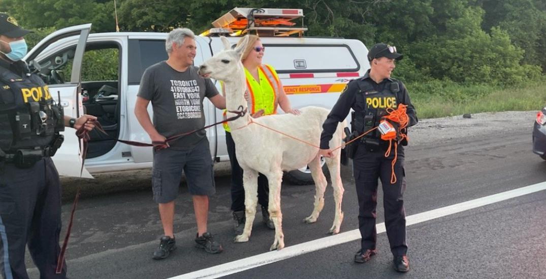 Llama drama causes traffic disruptions on Highway 400 near Toronto