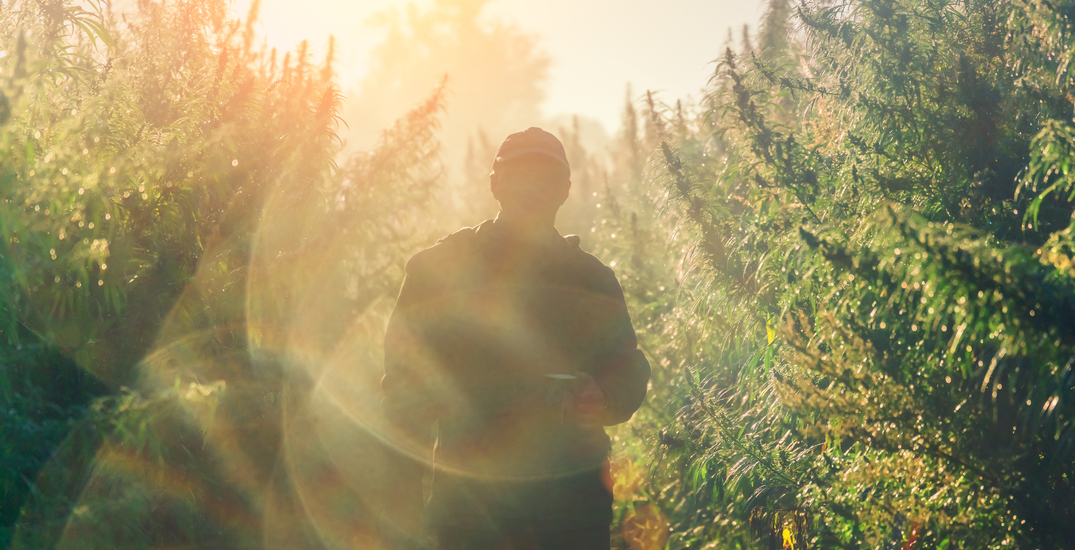 Canadian cannabis grower aiming for another historic harvest in 2021