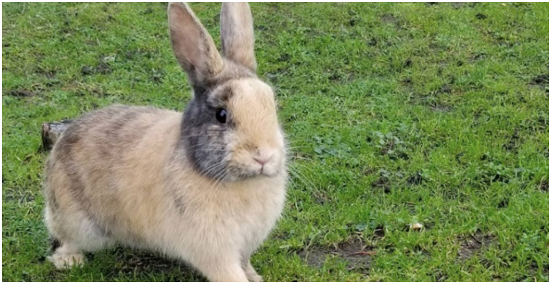 Rabbit population being shot and killed at YVR: animal advocates