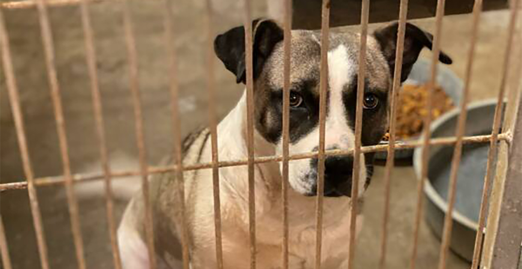 Toronto dog rescue sees decline in foster applications as pandemic restrictions relax