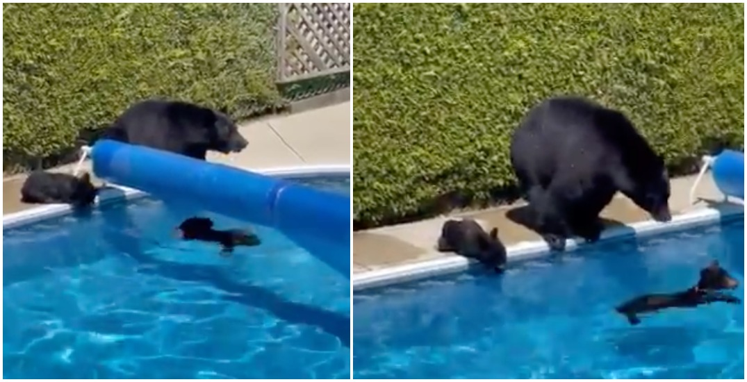Bears cool off in Coquitlam backyard pool during heat wave (VIDEO)