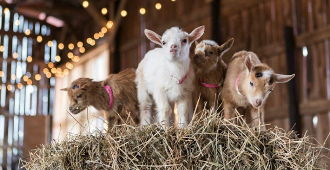 Cuddle up with the cutest goats at this animal farm near Toronto