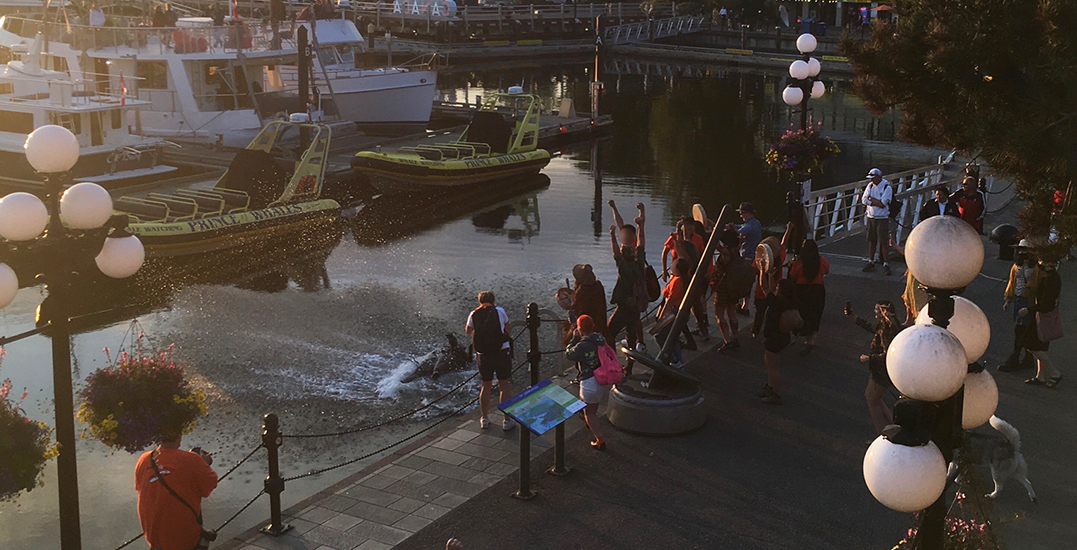 Captain Cook statue in Victoria pulled down, thrown into harbour