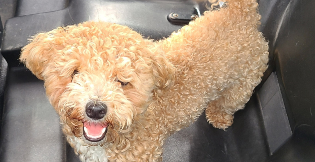 Puppy rescued after being locked in hot car for three hours at Vaughan Mills