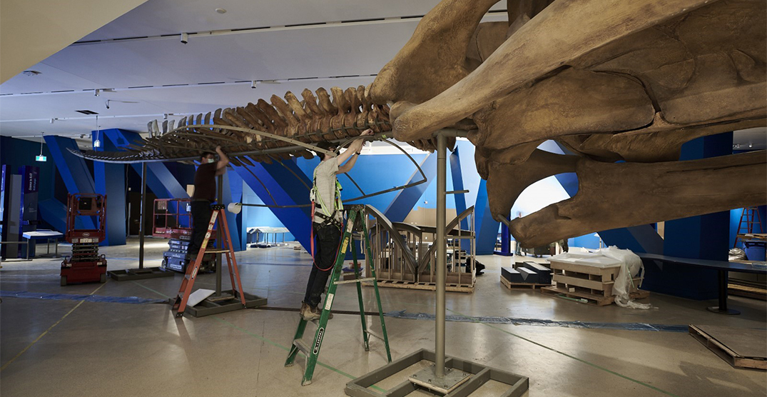 The ROM is reopening with a new whale exhibit this month