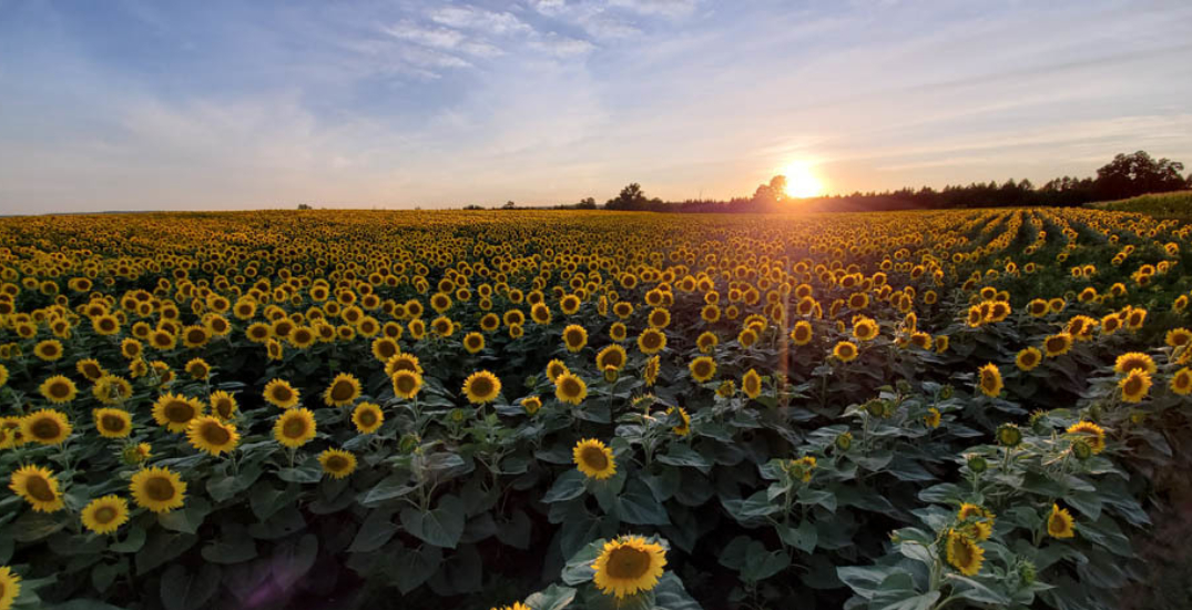 You can frolic through 45 acres of sunflowers near Toronto this summer