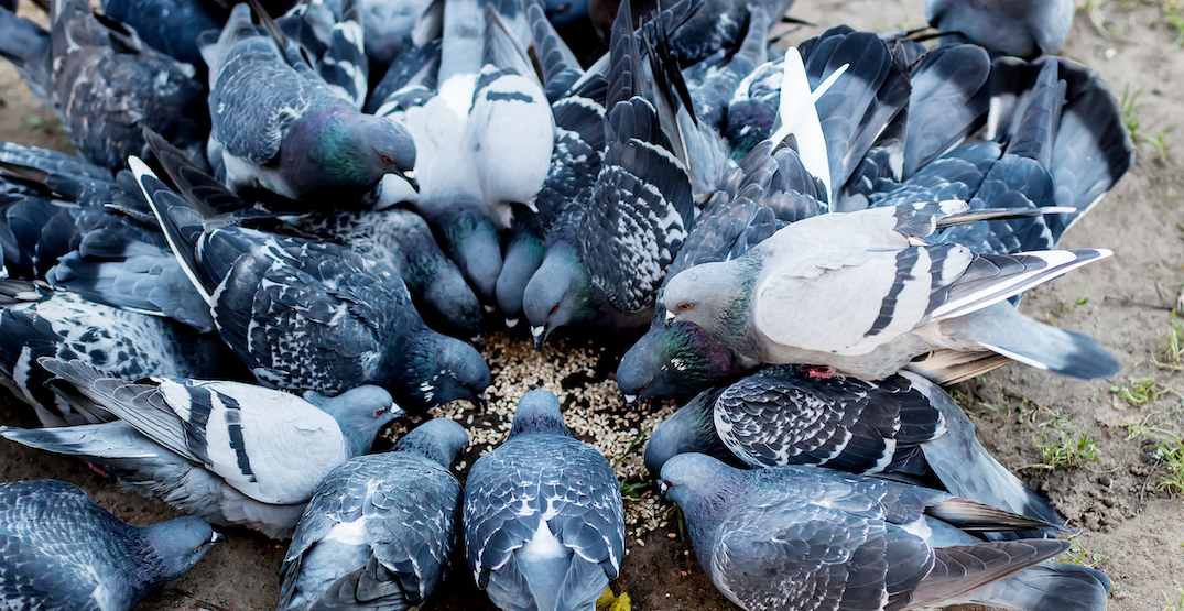 Toronto could soon ban feeding pigeons on public and private property