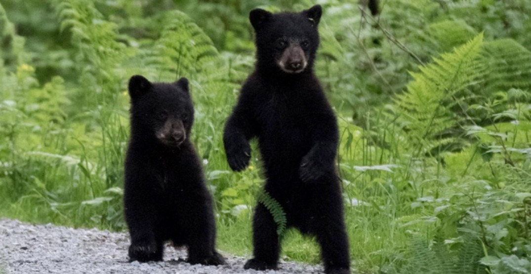 West Vancouver residents urged to lookout for orphaned black bear cubs