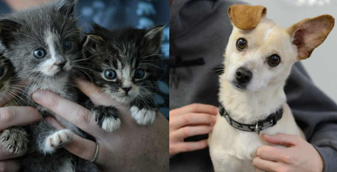 BC SPCA offering half-price adoptions to free up space for animals affected by wildfires