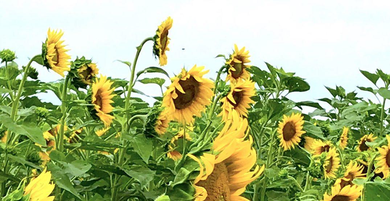 This sunflower maze near Toronto is opening next week