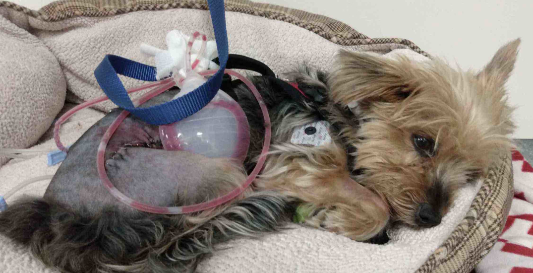 Tiny Toronto dog defends young owner from coyote attack