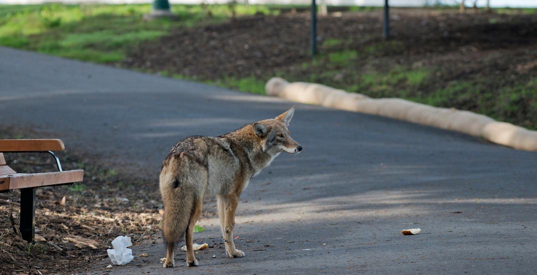 Man bitten by coyote near Second Beach in Stanley Park