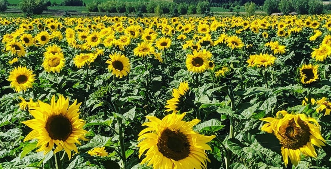 The Bowden Sunmaze has thousands of sunflowers to visit