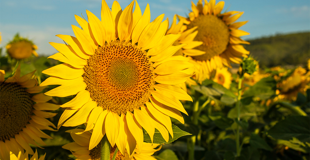 There's a field of blooming sunflowers near Toronto you can visit for FREE
