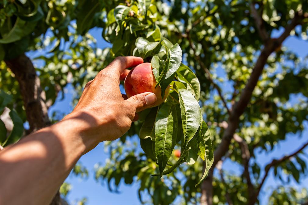 Picking a peach