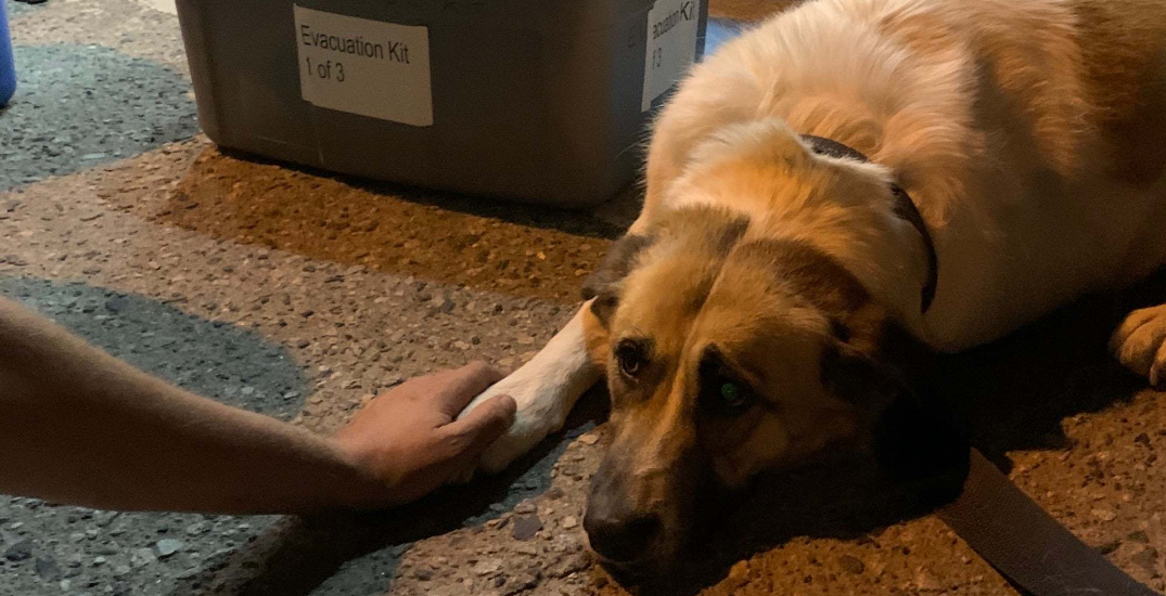BC search and rescue team saves dog abandoned during wildfire evacuation