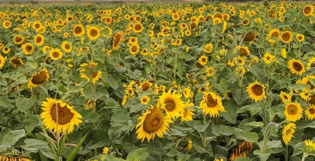 Visit thousands of sunflowers at Bowden Sunmaze this week