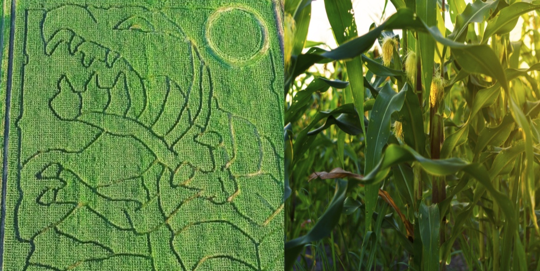 Corn maze Drumheller