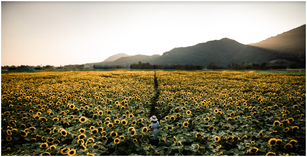 Six must-visit Fraser Valley farms to get epic sunflower photos