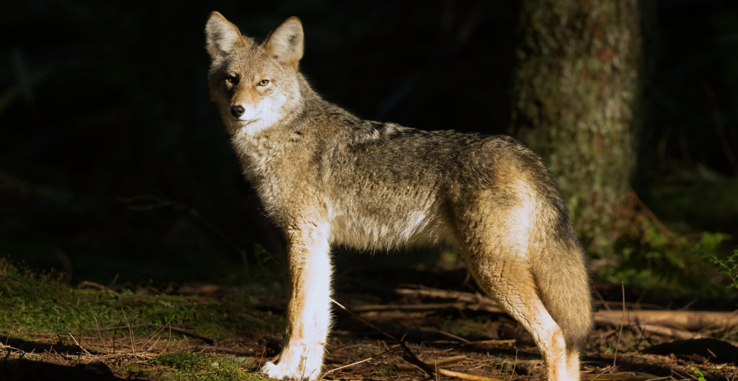 Five-year-old boy bitten in yet another Stanley Park coyote attack