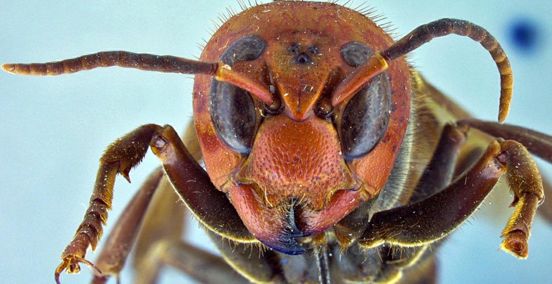 First Asian giant hornet sighting of 2021 confirmed near border