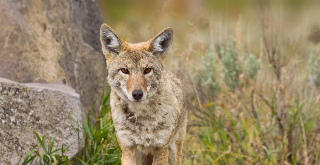 Third coyote attack reported in Stanley Park in four days