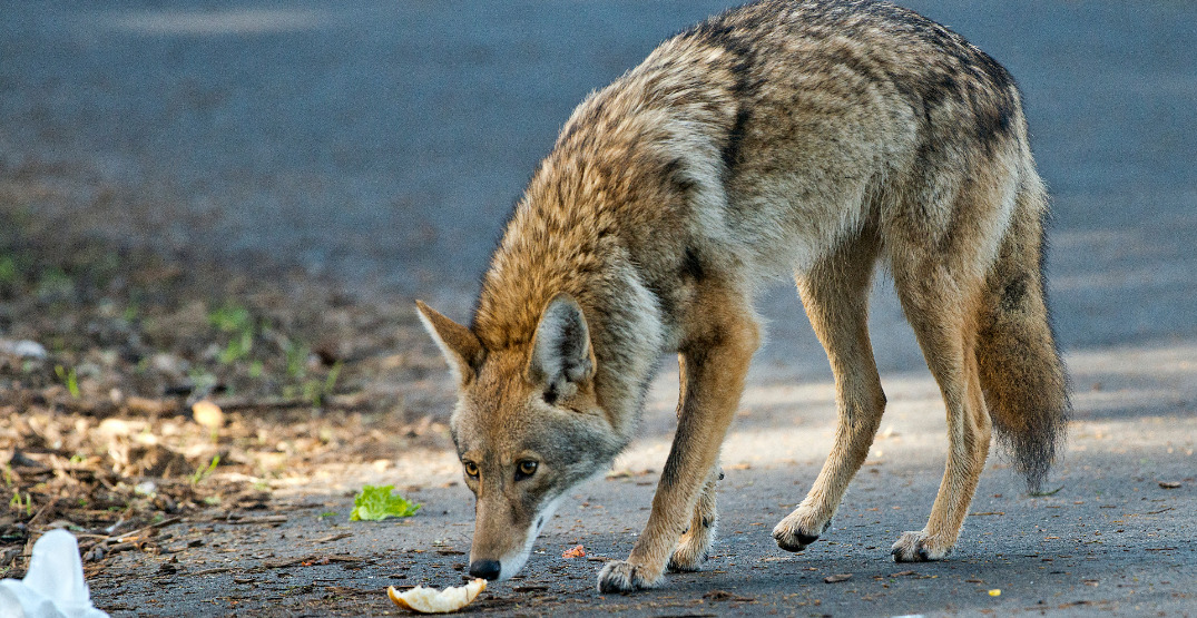 You can now be fined for feeding urban wildlife in Vancouver parks