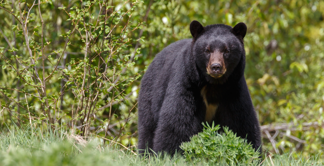 Woman possibly killed by black bear in Pitt Meadows: conservation service