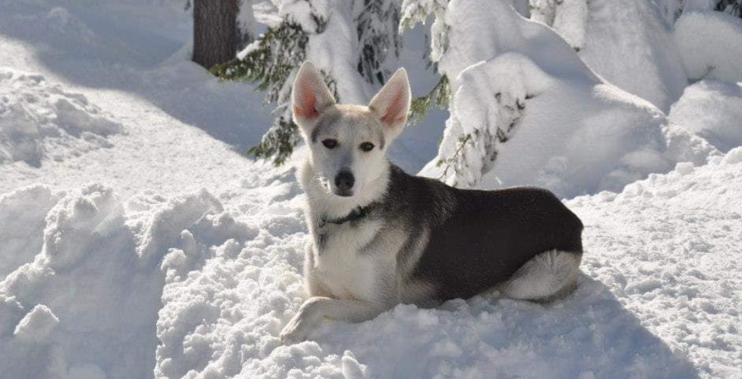 BC family pleads for safe return of Husky cross after car stolen with dog inside