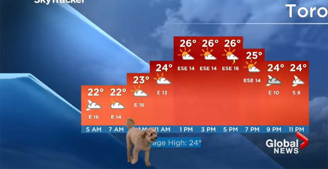 Global News' meteorologist's dog hilariously steals the show during live broadcast
