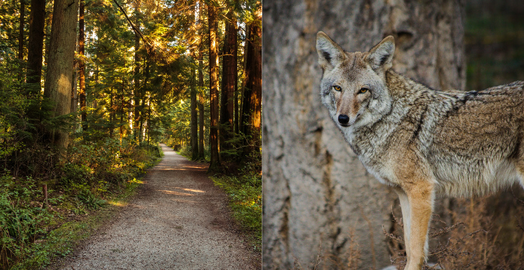 Stanley Park to close at 7 pm every night due to coyote attacks
