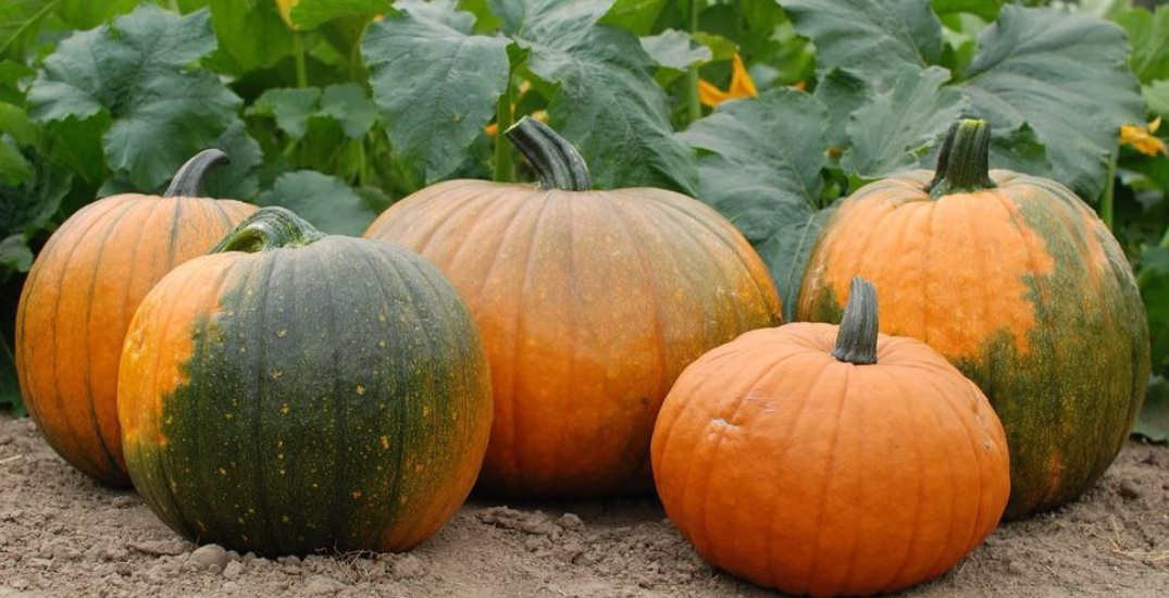 These are the best pumpkin patches in the Edmonton area