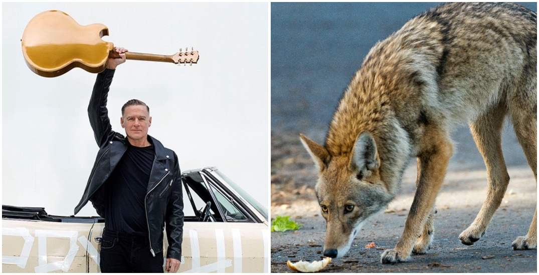 Bryan Adams speaks out against cull as vigil planned for Stanley Park coyotes