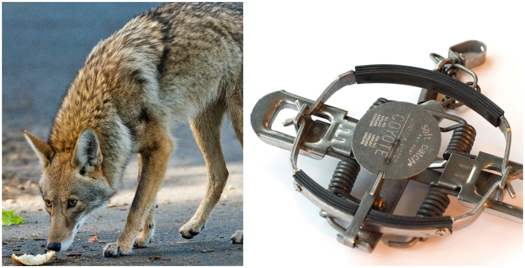 """Opinion: """"Humane"""" leg-hold traps in Stanley Park will allow for devastating injuries"""