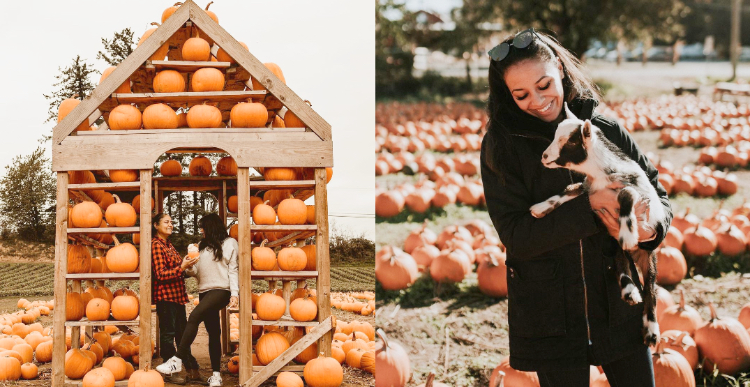 Maan Farms Fall Festival features plenty of pumpkins and a poop-themed maze