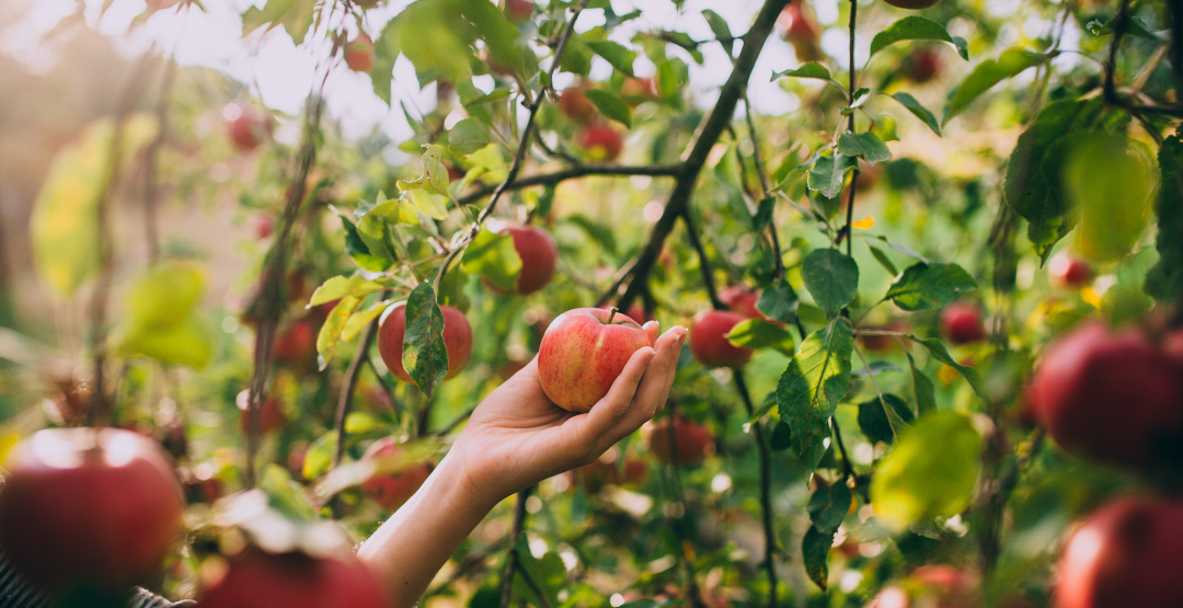 8 beautiful orchards around Montreal to go apple picking