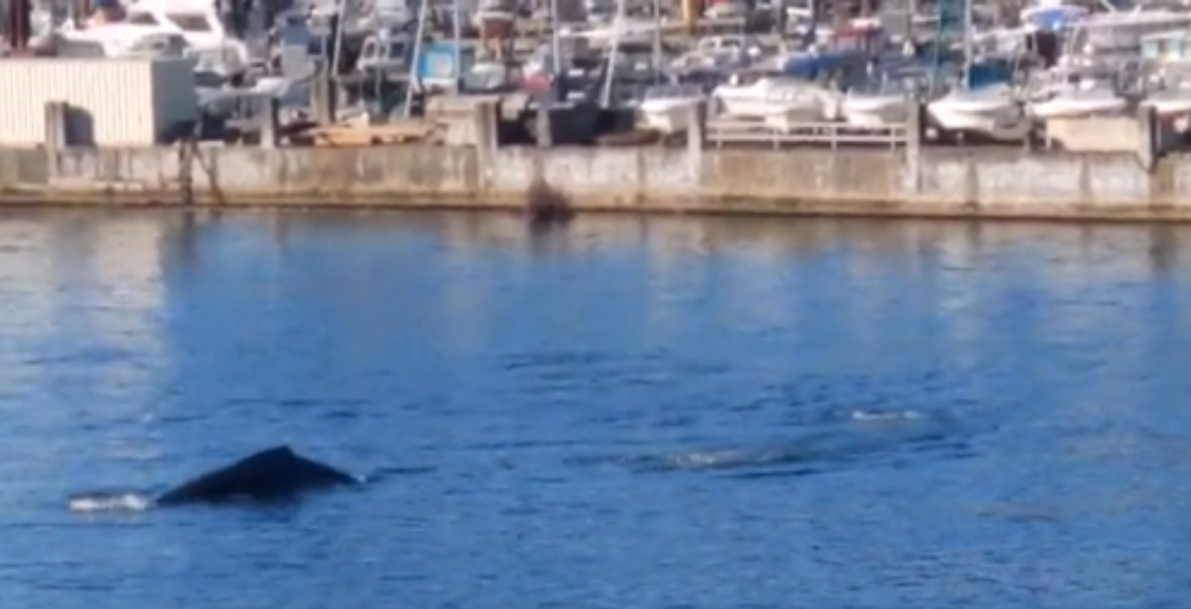 Two humpback whales spotted swimming in Horseshoe Bay (VIDEO)