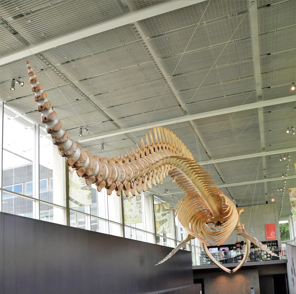 Blue whale skeleton at Beaty Biodiversity Museum