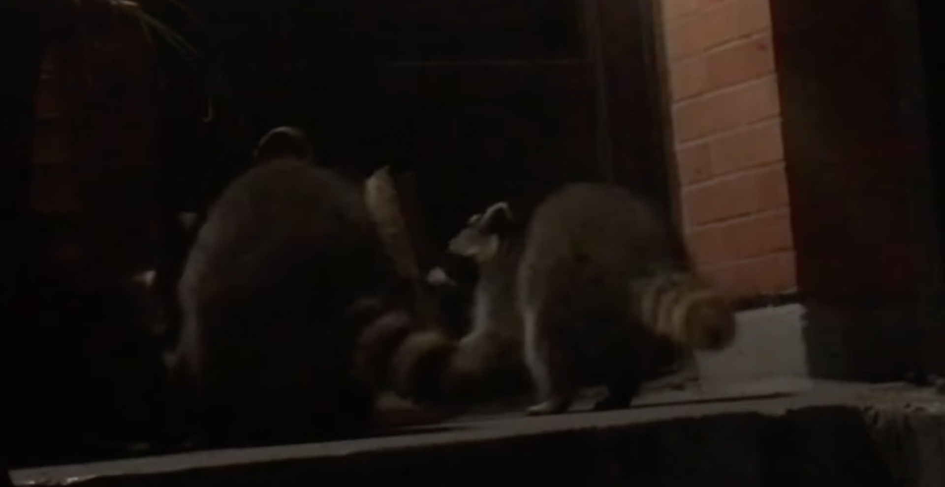 Toronto raccoons eat delivery order before customer could claim it (VIDEO)