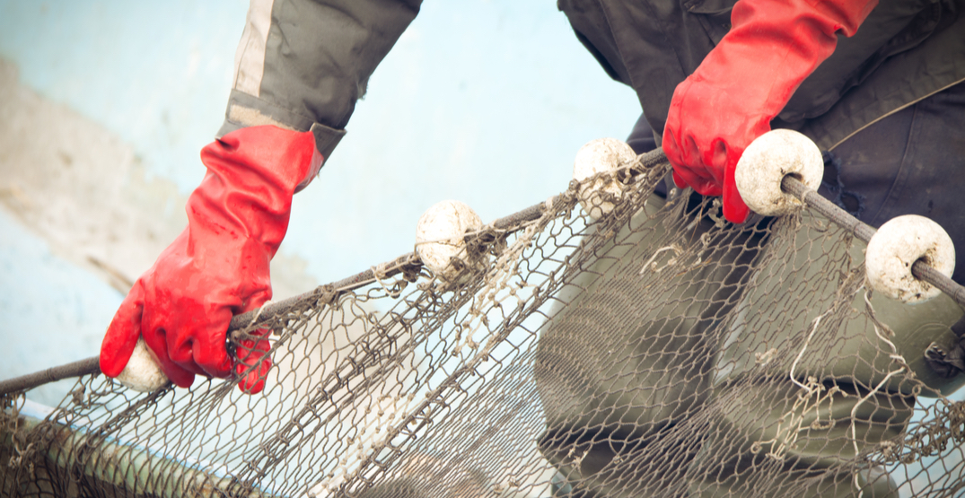 Sockeye salmon catches could drop by 26% during future heat waves: UBC study