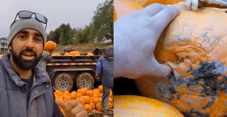 """Disaster"": Metro Vancouver pumpkin patch farmer loses 50% of crop"