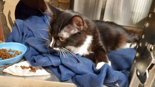 squamish cat seized