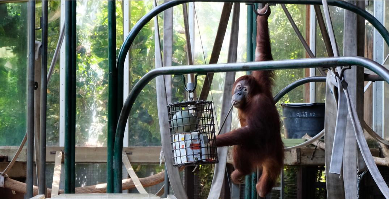 One of Toronto Zoo's endangered Sumatran orangutans is pregnant